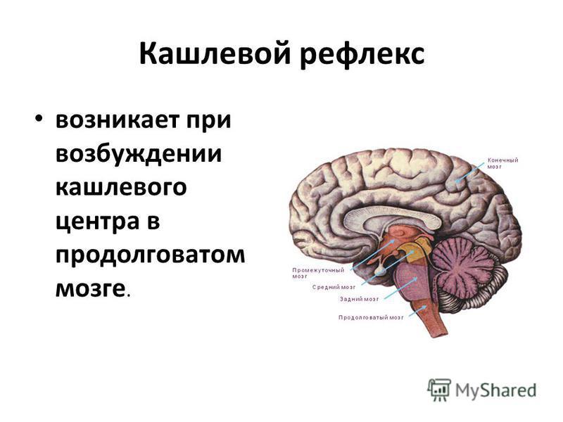Кашлевой рефлекс возникает при возбуждении кашлевого центра в продолговатом мозге.