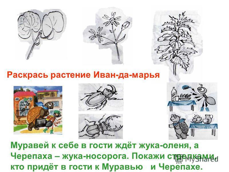 Раскрась растение Иван-да-марья Муравей к себе в гости ждёт жука-оленя, а Черепаха – жука-носорога. Покажи стрелками, кто придёт в гости к Муравью и Черепахе.