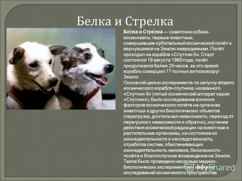 Белука и Стрелука Бе́лука и Стре́лука советские собаки- космонавты, первые животные, совершившие орбитальный космический полёт и вернувшиеся на Землю невредимыми. Полёт проходил на корабле «Спутник-5». Старт состоялся 19 августа 1960 года, полёт прод
