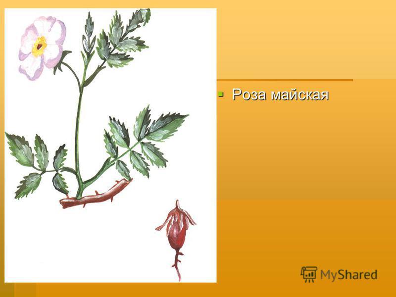 Роза майская Роза майская
