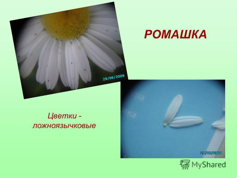 РОМАШКА Цветки - ложноязычковые