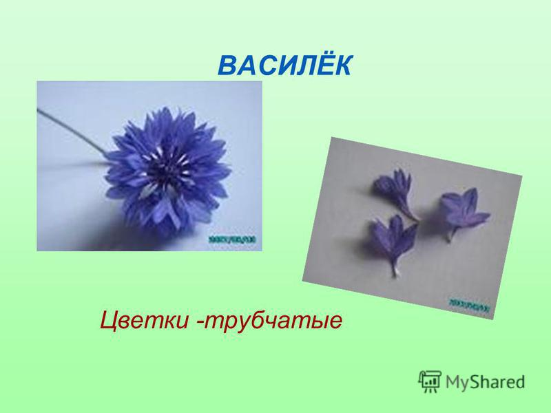 ВАСИЛЁК Цветки -трубчатые