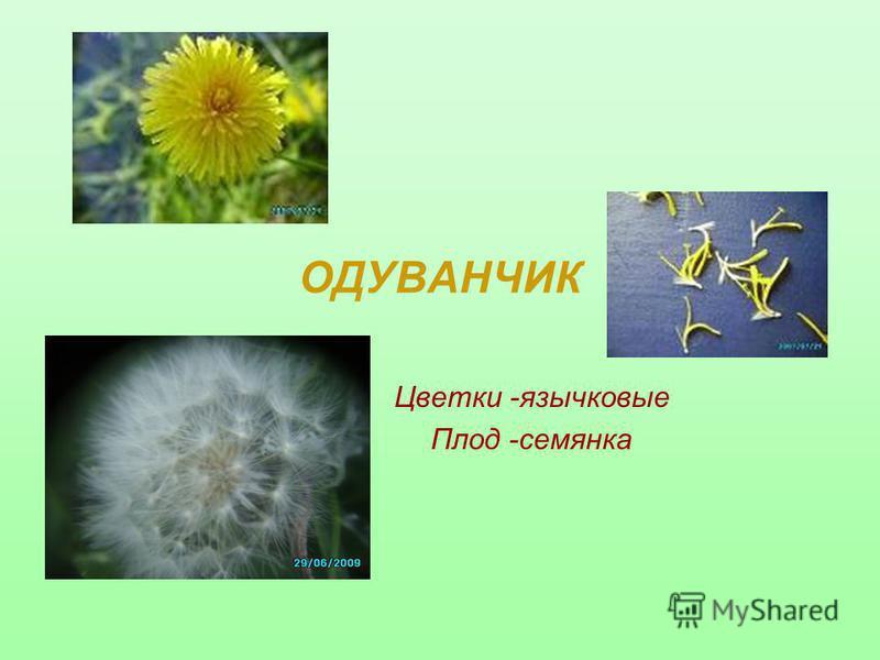 ОДУВАНЧИК Цветки -язычковые Плод -семянка