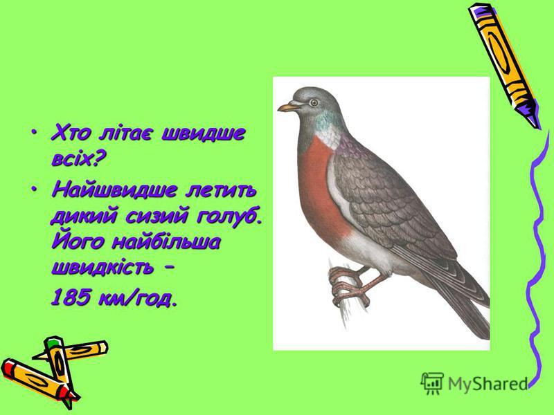 Хто літає швидше всіх?Хто літає швидше всіх? Найшвидше летить дикий сизий голуб. Його найбільша швидкість –Найшвидше летить дикий сизий голуб. Його найбільша швидкість – 185 км/год. 185 км/год.