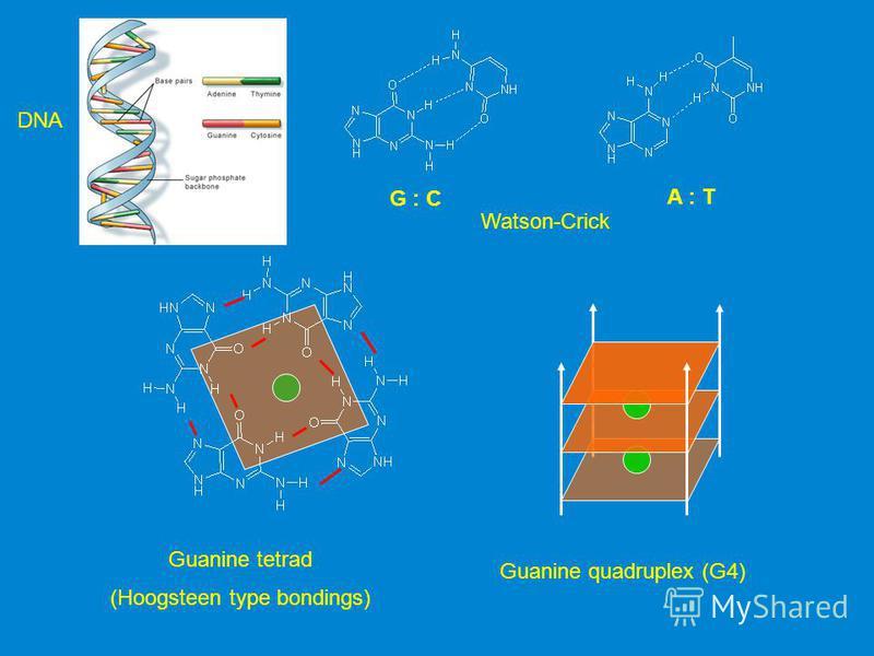 G : C A : T Watson-Crick Guanine tetrad (Hoogsteen type bondings) Guanine quadruplex (G4) DNA