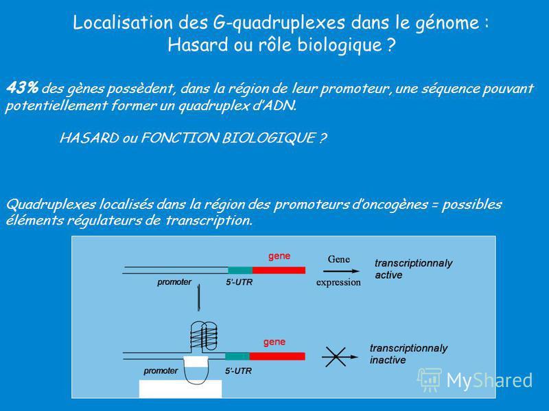 Localisation des G-quadruplexes dans le génome : Hasard ou rôle biologique ? 43% des gènes possèdent, dans la région de leur promoteur, une séquence pouvant potentiellement former un quadruplex dADN. HASARD ou FONCTION BIOLOGIQUE ? Quadruplexes local