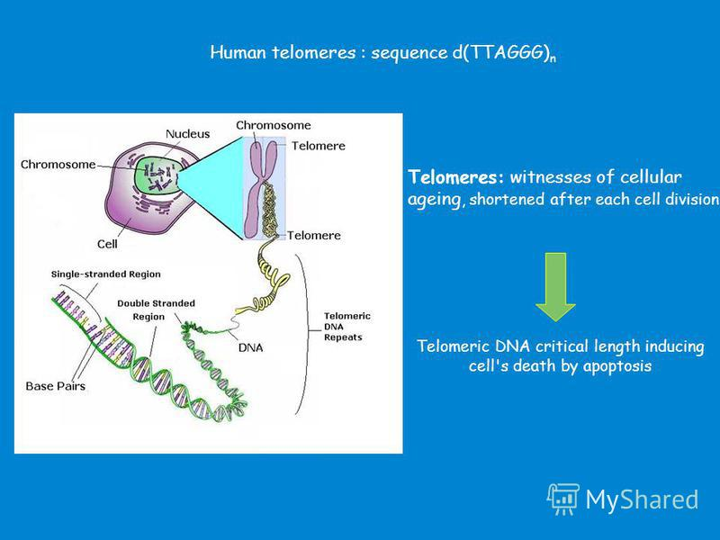 Human telomeres : sequence d(TTAGGG) n Telomeres: witnesses of cellular ageing, shortened after each cell division. Telomeric DNA critical length inducing cell's death by apoptosis