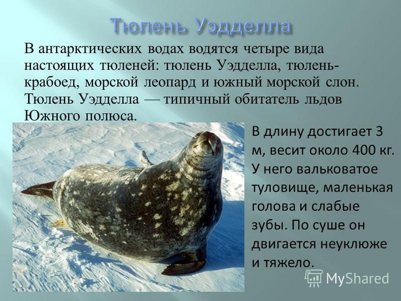 В антарктических водах водятся четыре вида настоящих тюленей : тюлень Уэдделла, тюлень - крабоед, морской леопард и южный морской слон. Тюлень Уэдделла типичный обитатель льдов Южного полюса. В длину достигает 3 м, весит около 400 кг. У него валькова