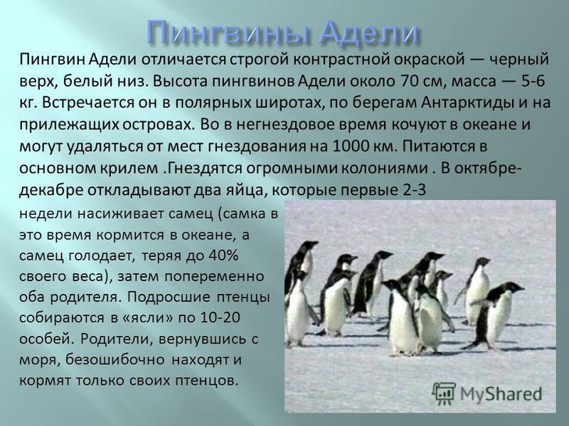 Пингвин Адели отличается строгой контрастной окраской черный верх, белый низ. Высота пингвинов Адели около 70 см, масса 5-6 кг. Встречается он в полярных широтах, по берегам Антарктиды и на прилежащих островах. Во в негнездовое время кочуют в океане