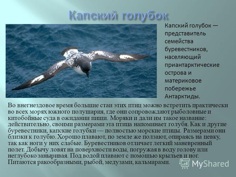 Во негнездовое время большие стаи этих птиц можно встретить практически во всех морях южного полушария, где они сопровождают рыболовные и китобойные суда в ожидании пищи. Моряки и дали им такое название : действительно, своими размерами эта птица нап