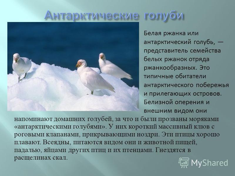 напоминают домашних голубей, за что и были прозваны моряками « антарктическими голубями ». У них короткий массивный клюв с роговыми клапанами, прикрывающими ноздри. Эти птицы хорошо плавают. Всеядны, питаются видом они и животной пищей, падалью, яйца
