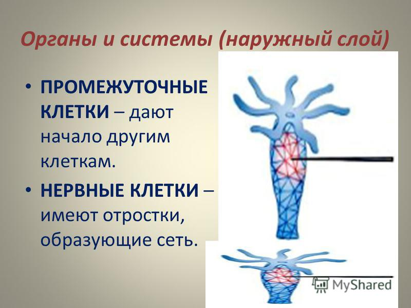 Органы и системы (наружный слой) ПРОМЕЖУТОЧНЫЕ КЛЕТКИ – дают начало другим клеткам. НЕРВНЫЕ КЛЕТКИ – имеют отростки, образующие сеть.