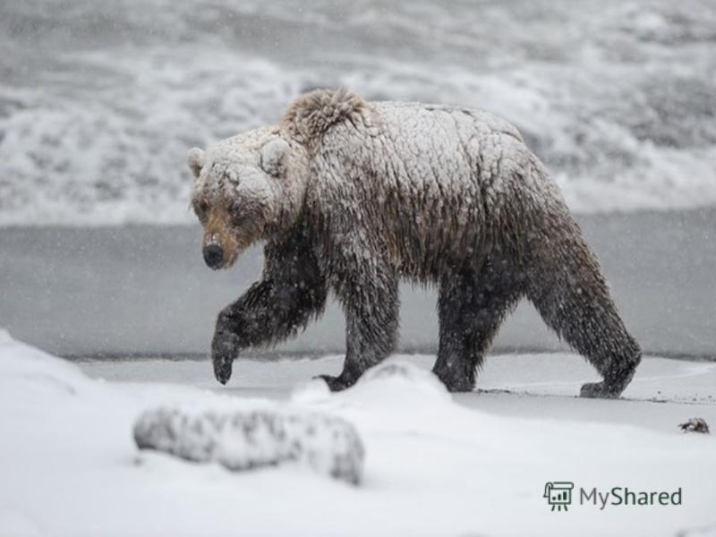 Якщо ведмідь не запасе восени жиру, то він не лягає спати, а цілу зиму ходить лісом. Таких ведмедів називають шатунами. Вони дуже небезпечні, можуть напасти на людину.