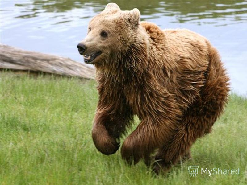 Хоча ведмедя і називають незграбним, він здатний наздогнати коня, спритно і нечутно підкрастися до жертви.