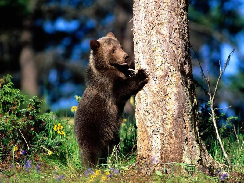 Ведмідь добре плаває, лазить по деревах. Це неймовірно сильна тварина - великий стовбур дерева піднімає, наче тріску.