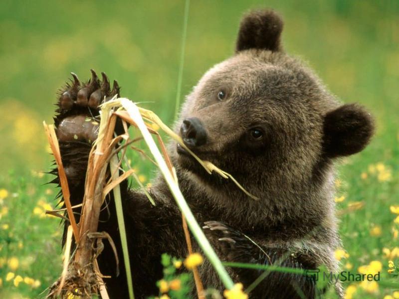 Маса ведмедя досягає 350 кг. Ведмідь є всеїдною твариною.
