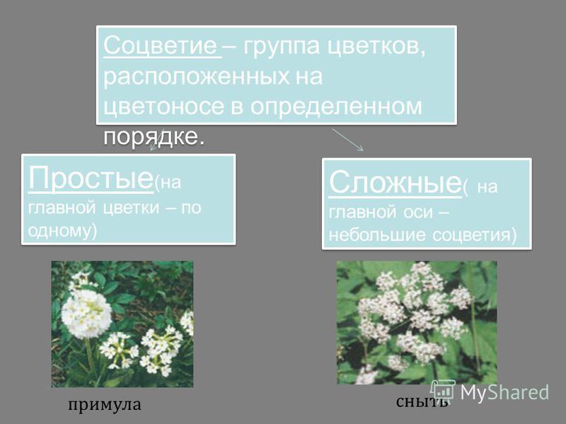 Соцветие – группа цветков, расположенных на цветоносе в определенном порядке. Простые (на главной цветки – по одному) Сложные ( на главной оси – небольшие соцветия) примула сныть