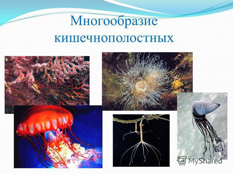 Многообразие кишечнополостных