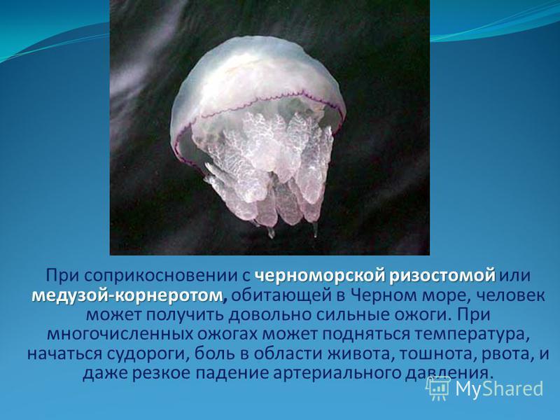 черноморской ризостомой медузой-корнеротом При соприкосновении с черноморской ризостомой или медузой-корнеротом, обитающей в Черном море, человек может получить довольно сильные ожоги. При многочисленных ожогах может подняться температура, начаться с