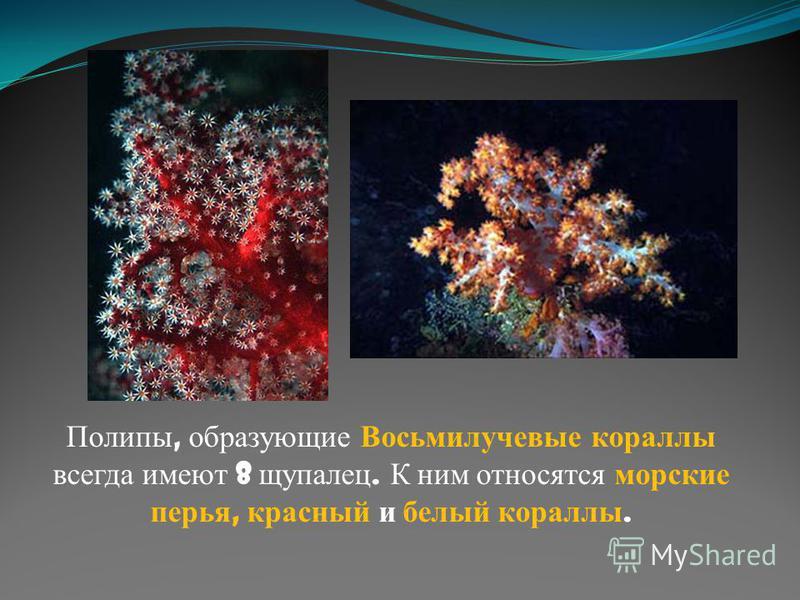 Полипы, образующие Восьмилучевые кораллы всегда имеют 8 щупалец. К ним относятся морские перья, красный и белый кораллы.
