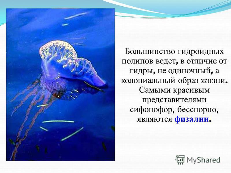Большинство гидроидных полипов ведет, в отличие от гидры, не одиночный, а колониальный образ жизни. Самыми красивым представителями сифонофор, бесспорно, являются физалии.