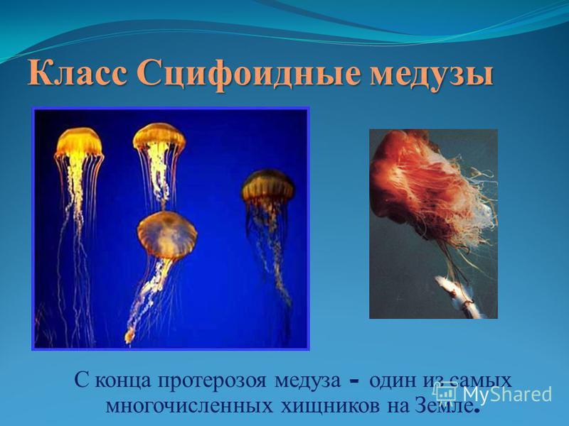Класс Сцифоидные медузы С конца протерозоя медуза – один из самых многочисленных хищников на Земле.
