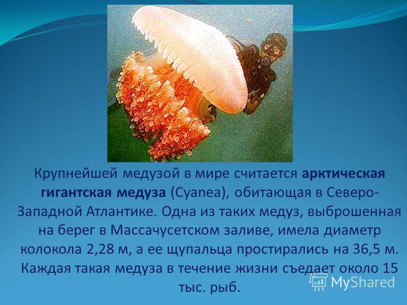 Крупнейшей медузой в мире считается арктическая гигантская медуза (Cyanea), обитающая в Северо- Западной Атлантике. Одна из таких медуз, выброшенная на берег в Массачусетском заливе, имела диаметр колокола 2,28 м, а ее щупальца простирались на 36,5 м