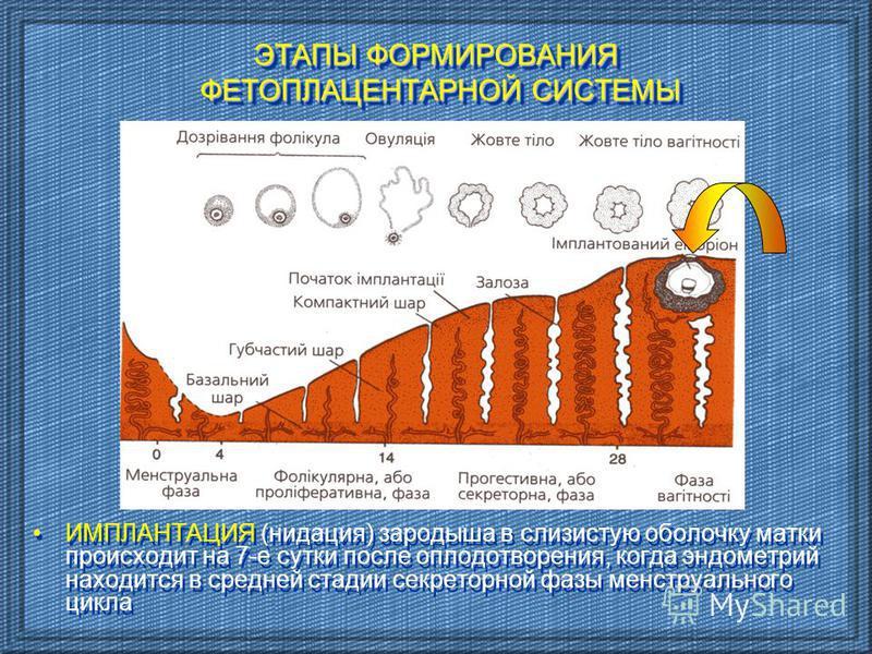 ИМПЛАНТАЦИЯ (нидация) зародыша в слизистую оболочку матки происходит на 7-е сутки после оплодотворения, когда эндометрий находится в средней стадии секреторной фазы менструального цикла ЭТАПЫ ФОРМИРОВАНИЯ ФЕТОПЛАЦЕНТАРНОЙ СИСТЕМЫ