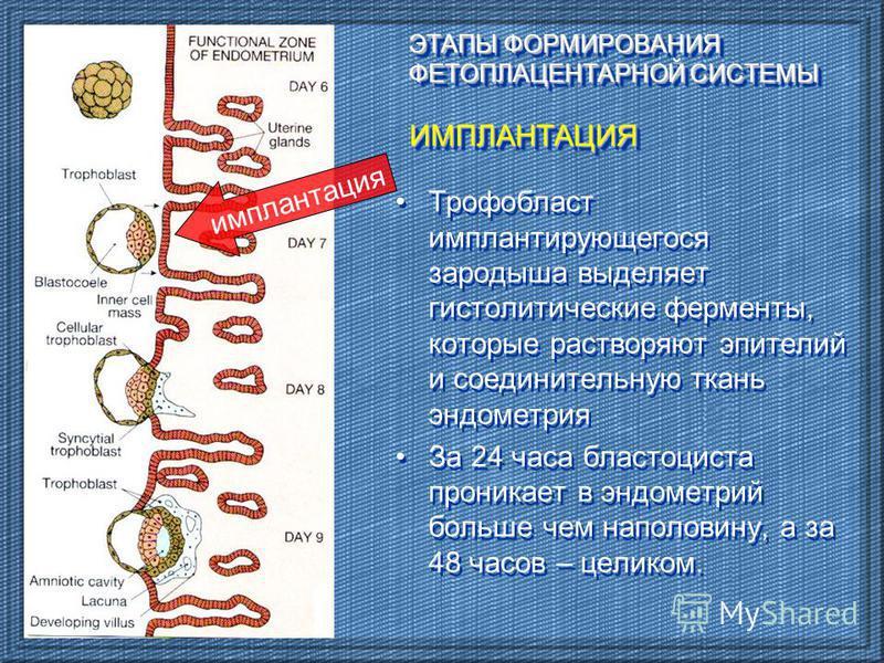 ЭТАПЫ ФОРМИРОВАНИЯ ФЕТОПЛАЦЕНТАРНОЙ СИСТЕМЫ ИМПЛАНТАЦИЯ Трофобласт имплантирующегося зародыша выделяет гистолитические ферменты, которые растворяют эпителий и соединительную ткань эндометрия За 24 часа бластоциста проникает в эндометрий больше чем на
