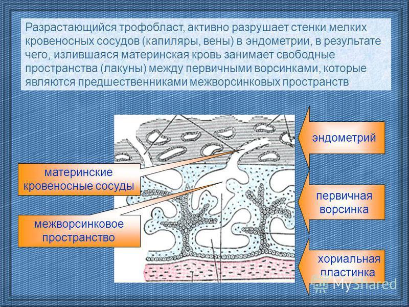 межворсинковое пространство эндометрий первичная ворсинка хориальная пластинка материнские кровеносные сосуды Разрастающийся трофобласт, активно разрушает стенки мелких кровеносных сосудов (капилляры, вены) в эндометрии, в результате чего, излившаяся