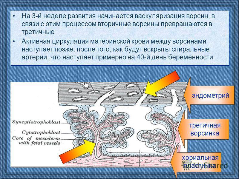 На 3-й неделе развития начинается васкуляризация ворсин, в связи с этим процессом вторичные ворсины превращаются в третичные Активная циркуляция материнской крови между ворсинами наступает позже, после того, как будут вскрыты спиральные артерии, что