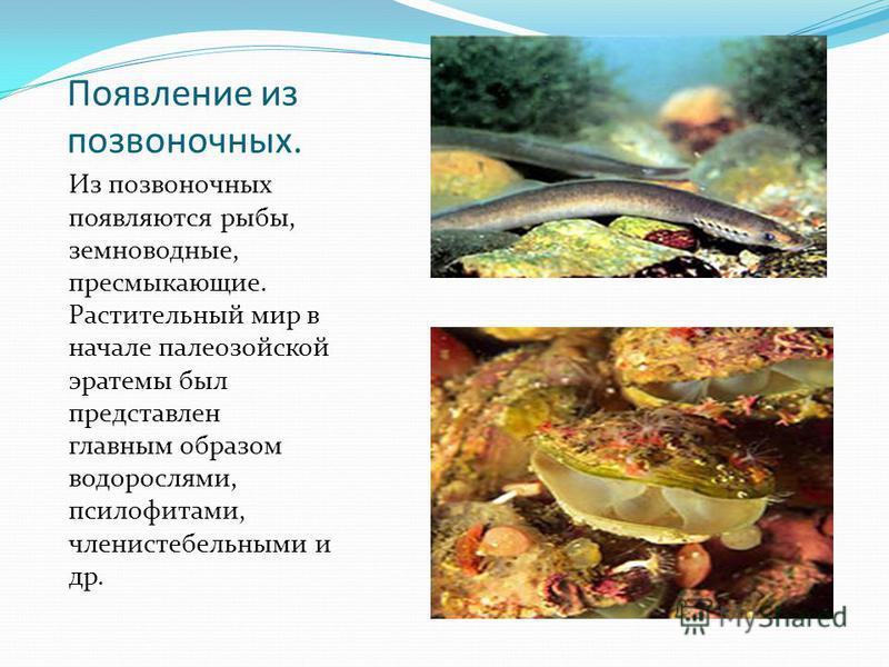 Появление из позвоночных. Из позвоночных появляются рыбы, земноводные, пресмыкающие. Растительный мир в начале палеозойской эра темы был представлен главным образом водорослями, псилофитами, членистебельными и др.