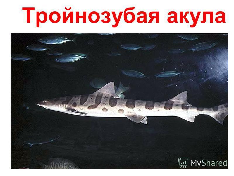 Тройнозубая акула