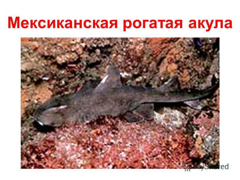 Мексиканская рогатая акула