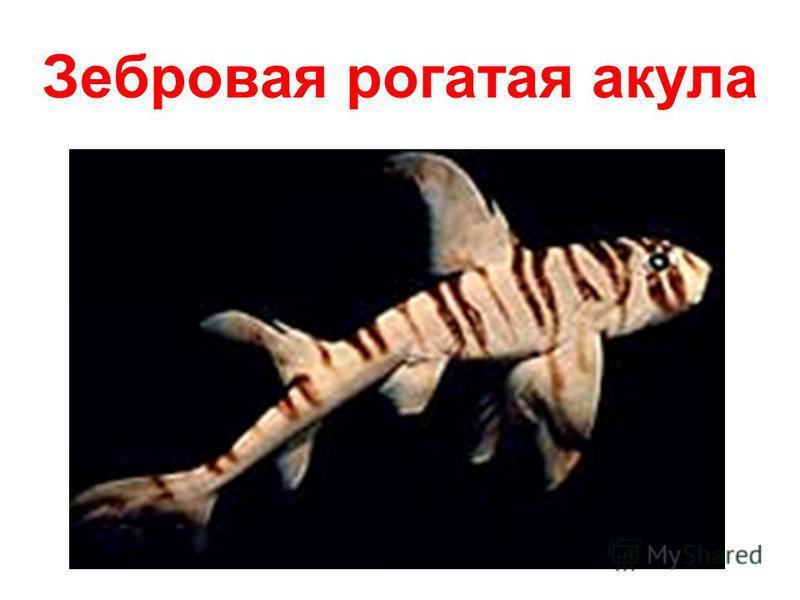 Зебровая рогатая акула