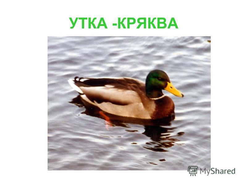 УТКА -КРЯКВА