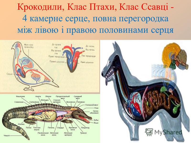 Крокодили, Клас Птахи, Клас Ссавці - 4 камерне серце, повна перегородка між лівою і правою половинами серця