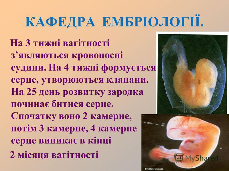 КАФЕДРА ЕМБРІОЛОГІЇ. На 3 тижні вагітності зявляються кровоносні судини. На 4 тижні формується серце, утворюються клапани. На 25 день розвитку зародка починає битися серце. Спочатку воно 2 камерне, потім 3 камерне, 4 камерне серце виникає в кінці 2 м