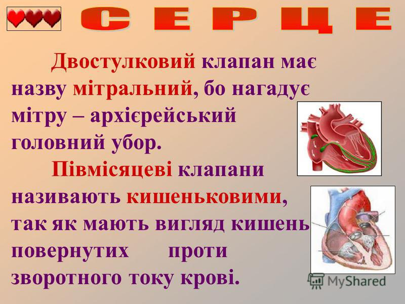 Двостулковий клапан має назву мітральний, бо нагадує мітру – архієрейський головний убор. Півмісяцеві клапани називають кишеньковими, так як мають вигляд кишеньок, повернутих проти зворотного току крові.