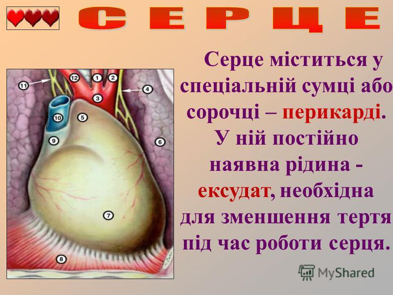 Серце міститься у спеціальній сумці або сорочці – перикарді. У ній постійно наявна рідина - ексудат, необхідна для зменшення тертя під час роботи серця.