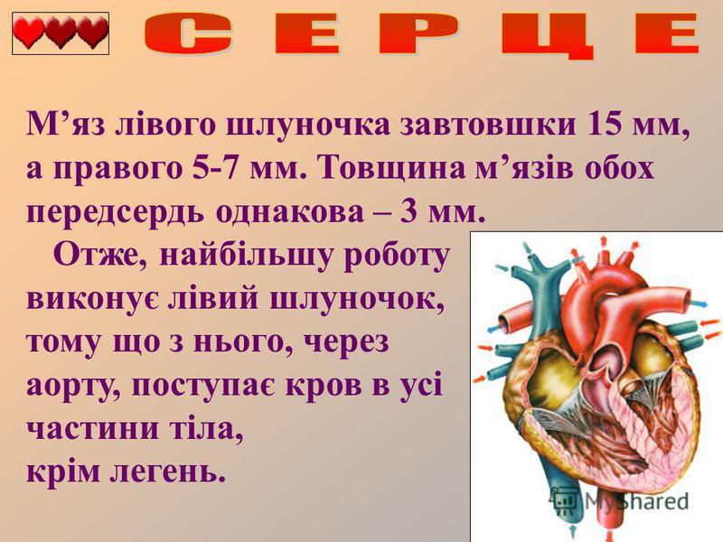 Мяз лівого шлуночка завтовшки 15 мм, а правого 5-7 мм. Товщина мязів обох передсердь однакова – 3 мм. Отже, найбільшу роботу виконує лівий шлуночок, тому що з нього, через аорту, поступає кров в усі частини тіла, крім легень.