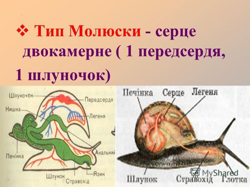 . Тип Молюски - серце двокамерне ( 1 передсердя, 1 шлуночок)