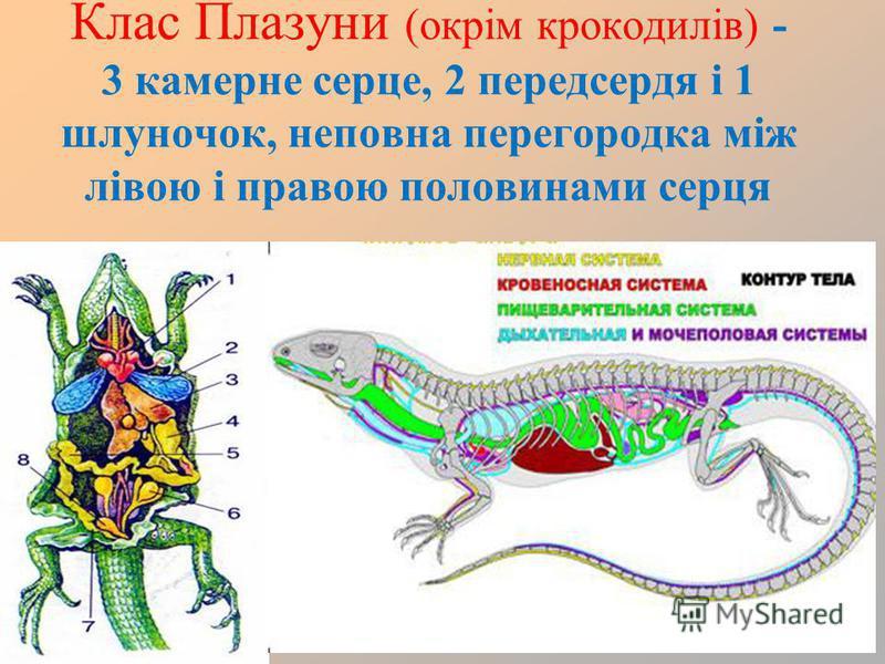 Клас Плазуни (окрім крокодилів) - 3 камерне серце, 2 передсердя і 1 шлуночок, неповна перегородка між лівою і правою половинами серця