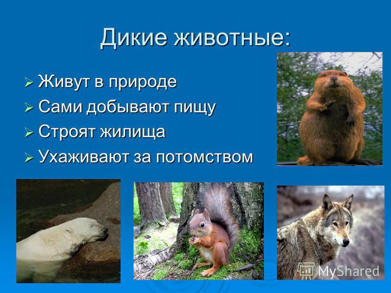 Дикие животные: Живут в природе Живут в природе Сами добывают пищу Сами добывают пищу Строят жилища Строят жилища Ухаживают за потомством Ухаживают за потомством