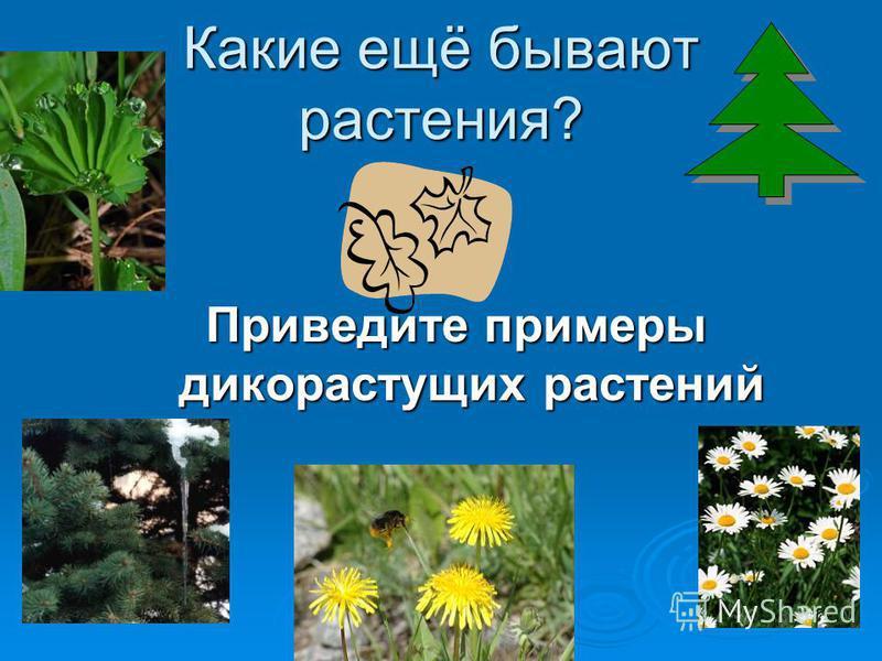 Какие ещё бывают растения? Приведите примеры дикорастущих растений