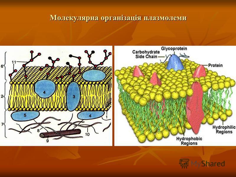 Молекулярна організація плазмолеми