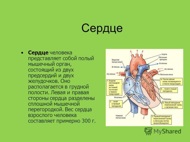 Сердце Сердце человека представляет собой полый мышечный орган, состоящий из двух предсердий и двух желудочков. Оно располагается в грудной полости. Левая и правая стороны сердца разделены сплошной мышечной перегородкой. Вес сердца взрослого человека