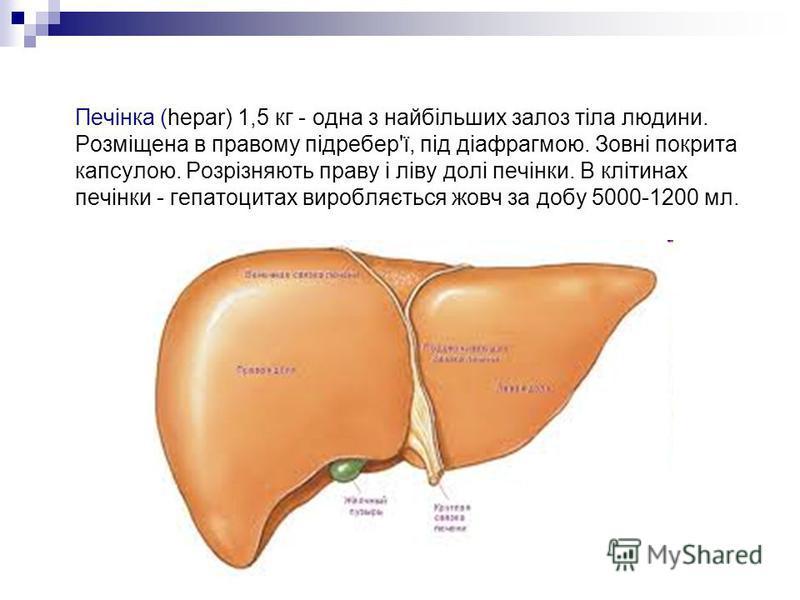 Печінка (hepar) 1,5 кг - одна з найбільших залоз тіла людини. Розміщена в правому підребер'ї, під діафрагмою. Зовні покрита капсулою. Розрізняють праву і ліву долі печінки. В клітинах печінки - гепатоцитах виробляється жовч за добу 5000-1200 мл.