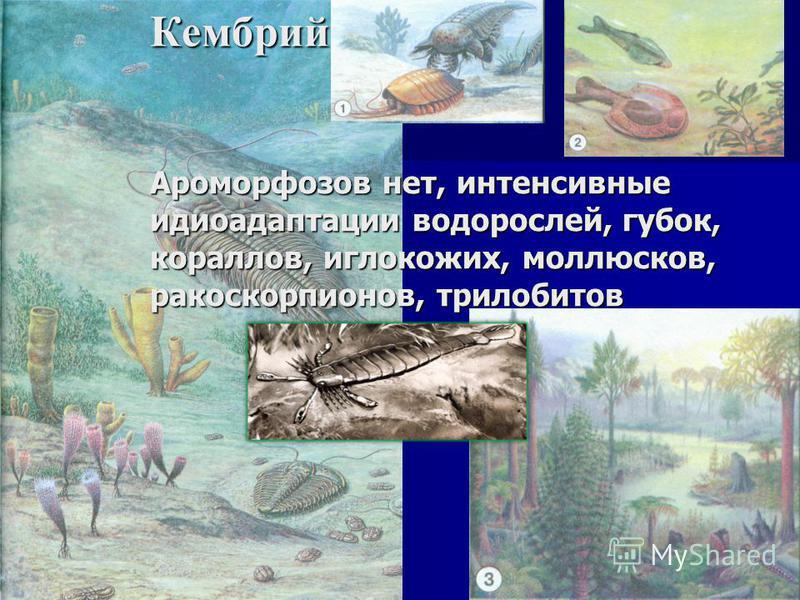 Кембрий Ароморфозов нет, интенсивные идиоадаптации водорослей, губок, кораллов, иглокожих, моллюсков, ракоскорпионов, трилобитов