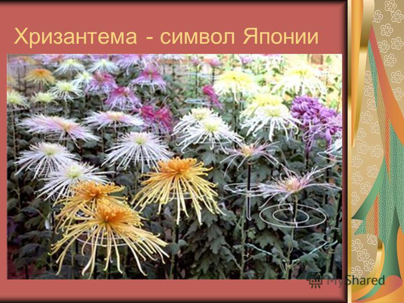 Хризантема - символ Японии